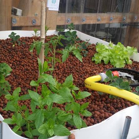 Les salades grandissent vite !